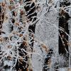 Графика первого снега с березовыми листьями... :: Лидия Бараблина