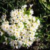 Цветы примулы весной ранней взор притягивают наш..... :: Tatiana Markova
