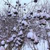 Арония в снегу :: sm-lydmila Смородинская