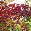 Девичий виноград. :: Валерия Комова