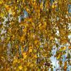 autumn foliage :: Zinovi Seniak