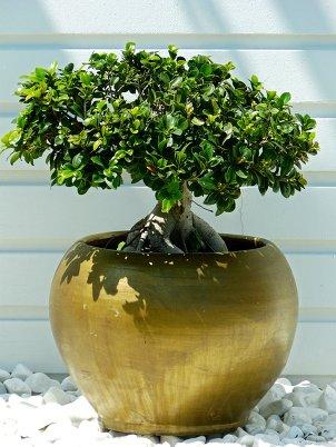 Бонсай - дерево в миниатюре.