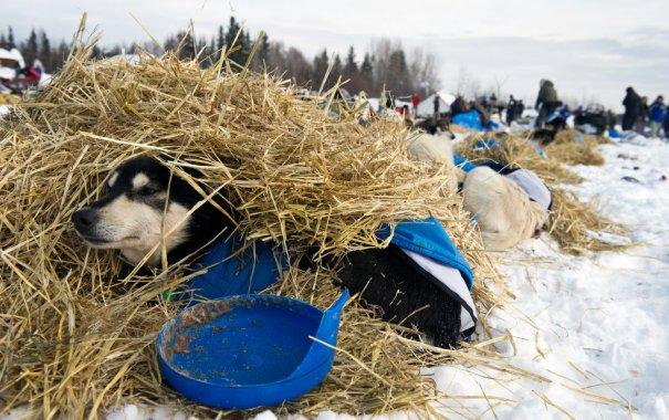 Собака на сене, фото:Marc Lester