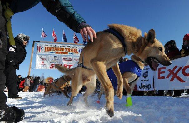 Собаки рвутся в бой ((фото:Marc Lester)