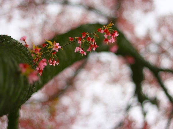 ветка сакуры, фото: Bhumi Shah