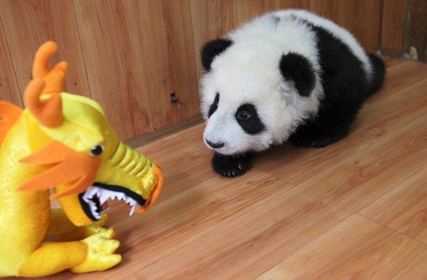 маленькая панда со своим подарком!