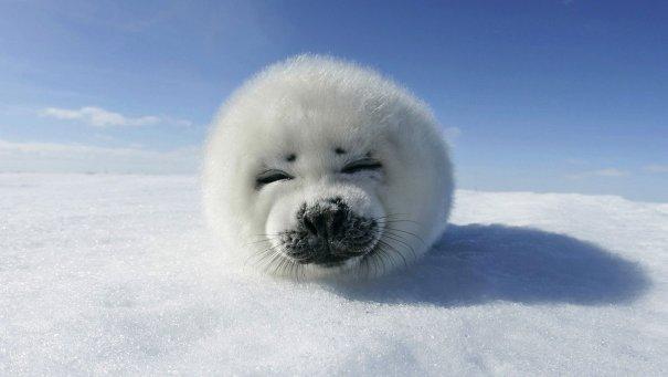 Улыбающийся белёк-детеныш тюленя