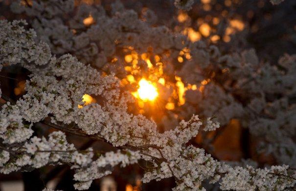 Цветущая сакура, Япония (фото:Nicholas Kamm)