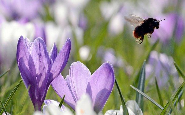 """""""Первый весенний полет шмеля"""" (фото:Martin Meissner)"""