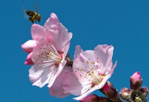 Пчелы начинают собирать нектар с первых соцветий (фото:Uwe Anspach)