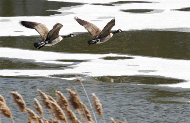 Канадский гусь возвращается с юга. Фото:David Duprey
