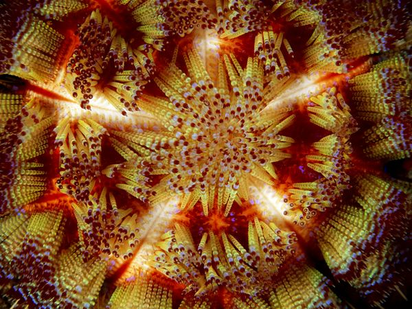 Морской огненный еж, фото:Tim Laman