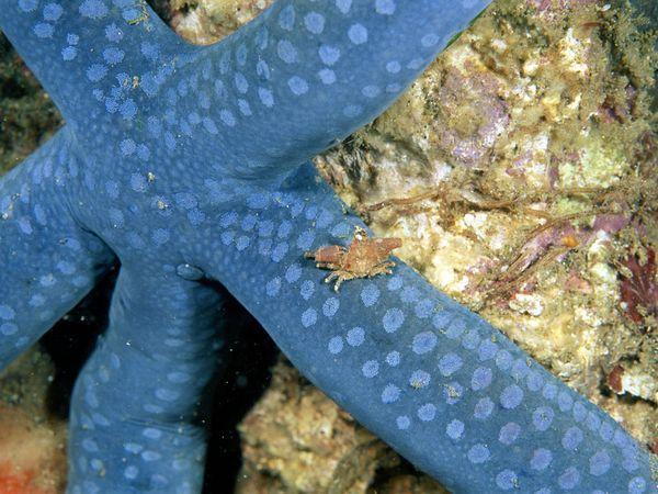 Голубая звезда и маленький краб, фото: Wolcott Henry