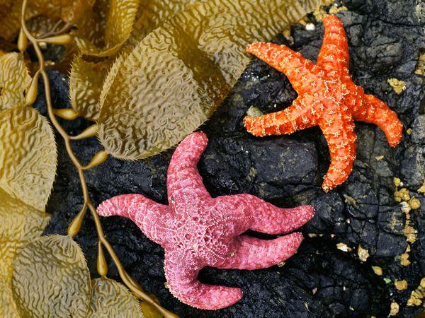 Пара морских звезд, Британская Колумбия, фото:Michael Melford