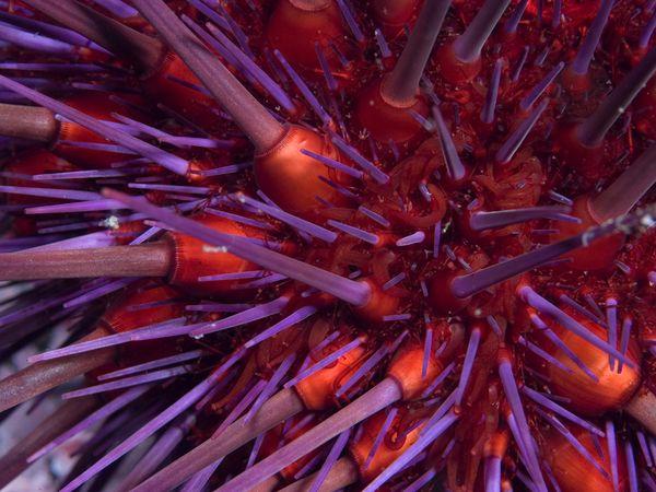 Морской еж, фото:Paul Nicklen