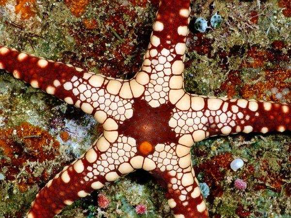 Морская звезда, Соломоновы острова , фото:Wolcott Henry