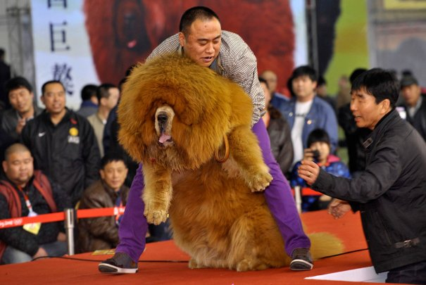 Китайская собака Чау-Чау стала любимицей собаководов!