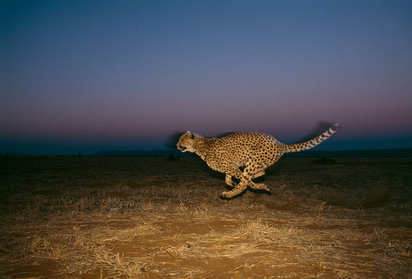 Гепард, фото: Chris Johns