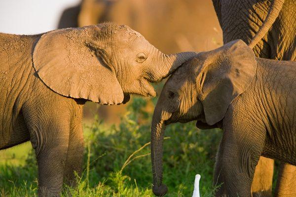 Слонята, фото:Beverly Joubert