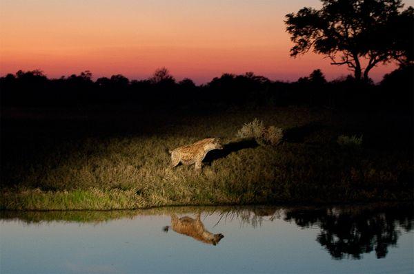 """""""Гиена на рассвете! (следит, кстати, за антилопами) фото:Pete McBride"""