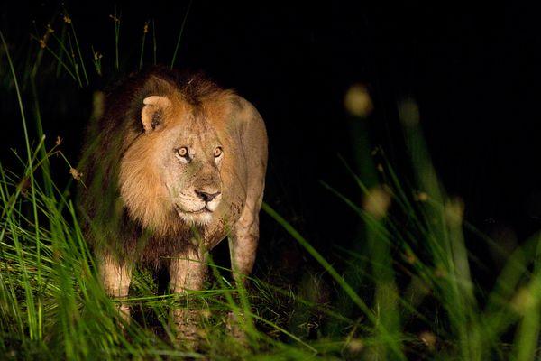 Король Лев!, дель реки Окаванго, Ботсвана, фото:Roy Toft