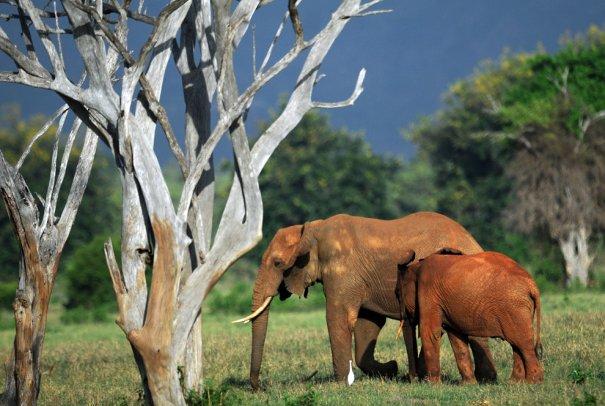 Заповедник Тцаво-восточный, Африка,фото: Tony Karumba