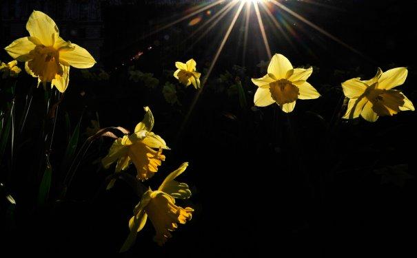 Нарциссы, парк святого Джеймса, Лондон,  фото: Toby Melville