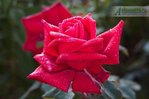 Роза в первый заморозОК!