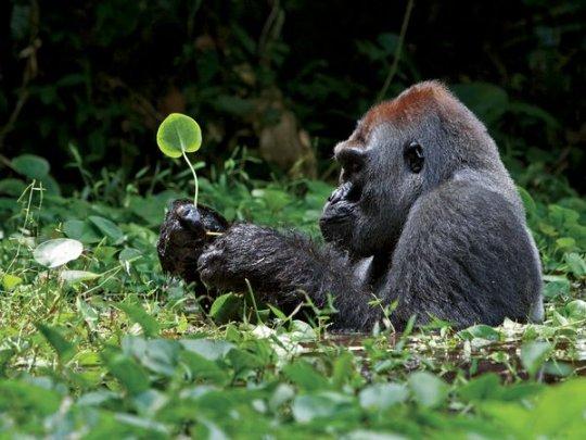 Сероспинная горилла, Африка (фото:Ian Nichols)