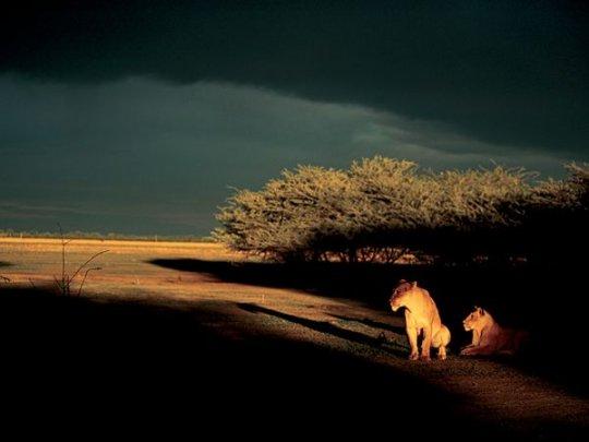 Львицы, Ботсвана(фото:Beverly Joubert)