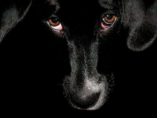 Черный пес (фото:Tarik Mahmutovic)