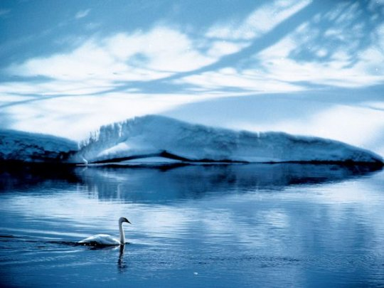 Лебедь, штат Вайоминг, США (фото:James P. Blair)