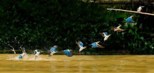 Зимородки,р.Кинабатанган,Борнео (фото:C.S. Ling)