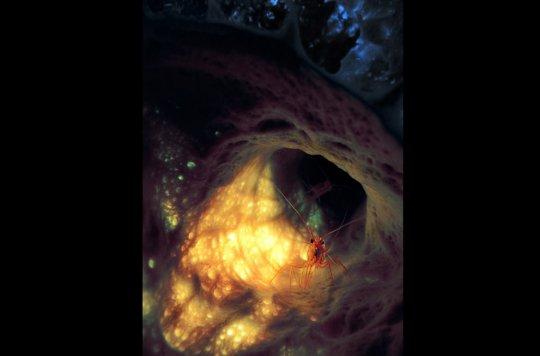Креветка внутри губки (фото: William Goodwin)