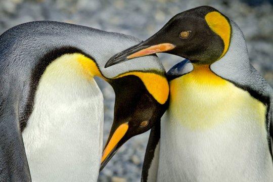 Королевские пингвины (фото:Jamie Scarrow)