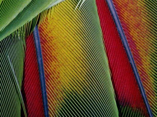 Оперение попугая Ара (фото:George Grall)