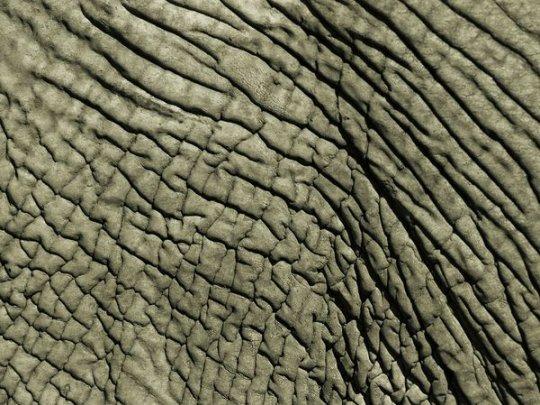 Африканский слон (фото:Bobby Model)