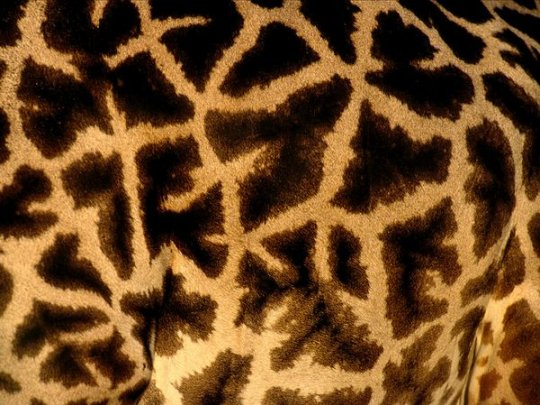 Жираф (фото:Michael Nichols)