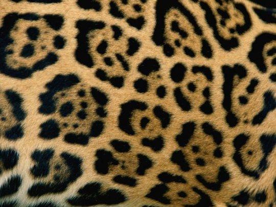 Ягуар (фото: Steve Winter)