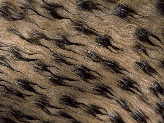 Мокрая шерсь гепарда (фото: Chris Johns)