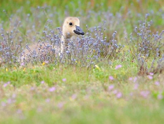 Утенок в поле( фото: Chris Corradino)