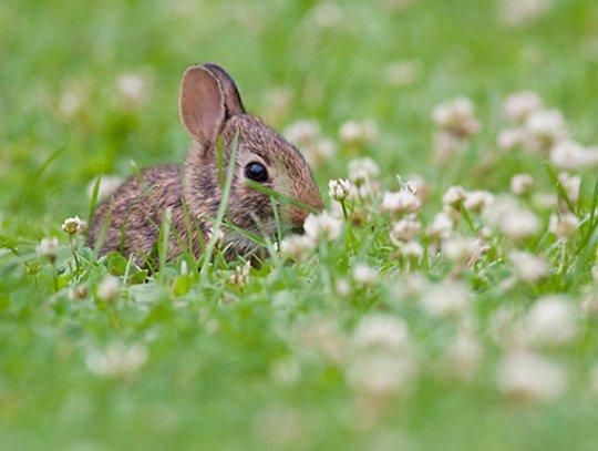 Кролик в поле (фото: Chris Corradino)