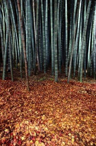 Побеги бамбука (фото:Sam Abell)