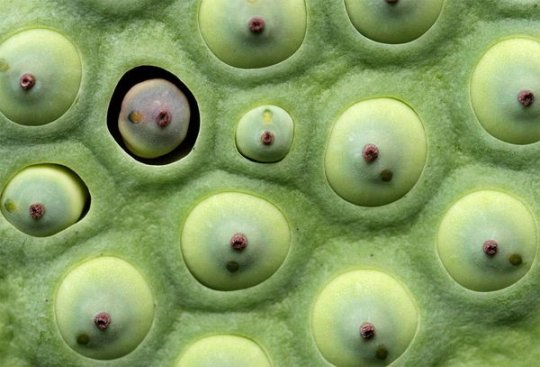 Семена водяной лилии (фото:Hideta Nagai)