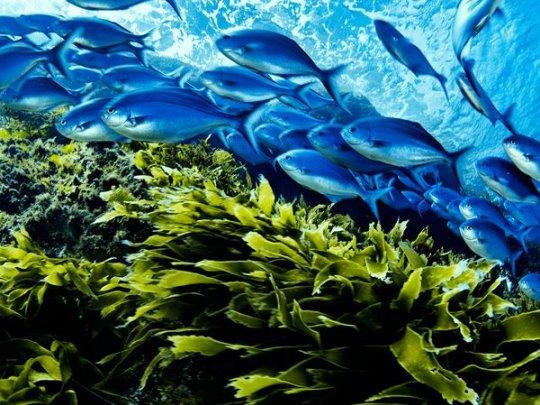 Синие маомао, Новая Зеландия