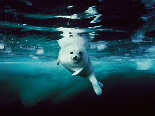 Белёк гренландского тюленя, Канада