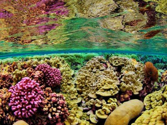 Кораллы , Риф Кингмен