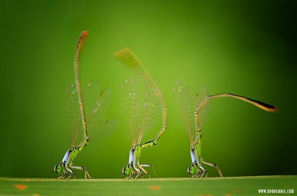 Великолепные фотографии насекомых Дени Алиспутра - №6