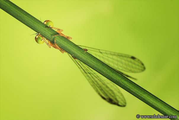 Великолепные фотографии насекомых Дени Алиспутра - №7