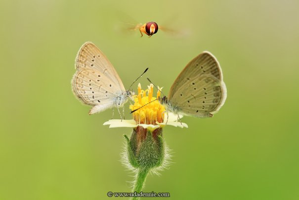 Великолепные фотографии насекомых Дени Алиспутра - №12